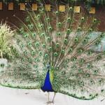 APA LA arboretum peacock strutting